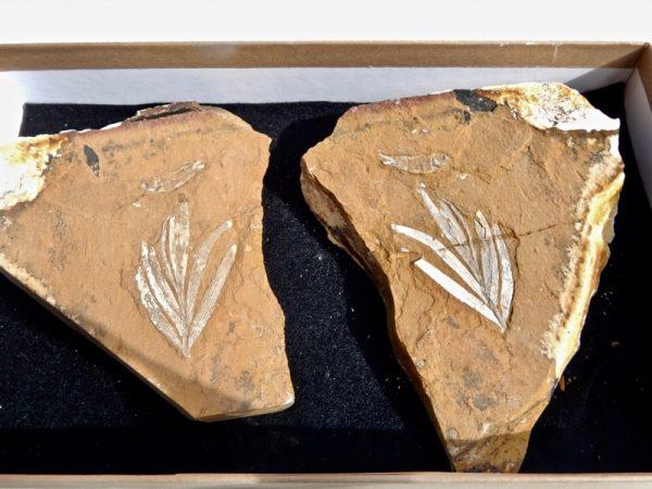 quality Australian fossil, rare